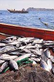 picture of catching fish  - A bumper catch of tuna fish in the sea - JPG