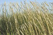 foto of dry grass  - Seaside winds are blowing hard the dry grass - JPG