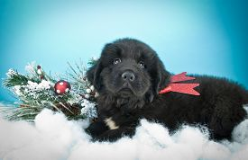 picture of newfoundland puppy  - Cute black Newfoundland puppy laying in snow with Christmas decor around him on a blue background - JPG