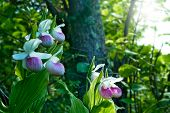 Showy Ladys-slippers - Cypripedium Reginae - Minnesota State Flower poster