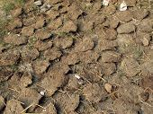 picture of scat  - Cow dung - JPG
