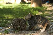 The Little Kitty Cat Playing With The Hedgehog, Outdoors poster
