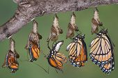 foto of chrysalis  - A viceroy butterfly is shown emerging from it - JPG