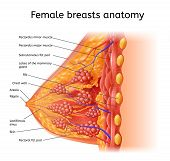 Human Female Breast Anatomy Detailed Vector Scheme With Labels In Cross Section View. Medical Infogr poster