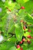 Caterpillars Eat Leaves Of Mulberry. Branch With Ripe Mulberry And Bombyx Mori. Insects Pests Eating poster