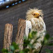 Egyptian Vulture, Neophron Percnopterus In Jerez De La Frontera, Andalusia In Spain poster