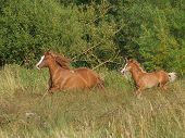 A Group Of Welsh Section D Ponies Canter Across  A Spring Paddock. poster