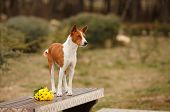 Cute Red Dog Breed Basenji Or Congo Terrier In The Spring For A Walk In The Park With Flowers, A Bea poster