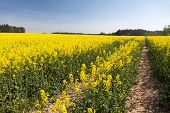 Field Of Rapeseed, Canola Or Colza In Latin Brassica Napus With Rural Road, Rapeseed Is Plant For Gr poster