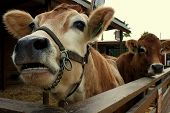 stock photo of moo-cow  - Close - JPG