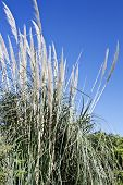foto of pampas grass  - Pampas grass, Cortaderia selloana, are a invasive species of natural ecosystems