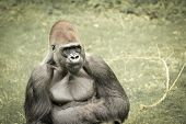 stock photo of ape-man  - gorilla is one of the apes closest to man - JPG