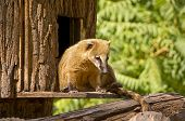 stock photo of coatimundi  - An auburn hued coati after the afternoon nap - JPG