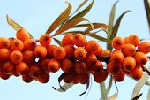 Sea Buckthorn (sea-buckthorn)