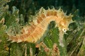 picture of seahorses  - Thorny Seahorse in seagrass - JPG