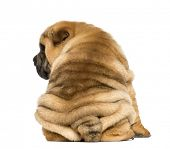 image of shar-pei puppy  - Back view of a Shar pei puppy sitting  - JPG