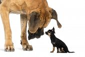 stock photo of chihuahua  - Great Dane looking at a Chihuahua sitting - JPG