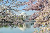 Ciudad de Washington, Thomas Jefferson Memorial durante la fiesta de la flor de cerezo en primavera - Estados Unidos