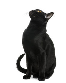 stock photo of american bombay  - Bombay kitten sitting and looking up - JPG