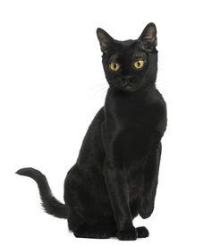 stock photo of american bombay  - Bombay cat sitting - JPG