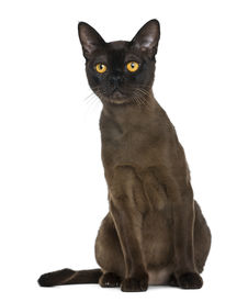 image of american bombay  - Bombay cat sitting and looking up - JPG