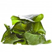 picture of green algae  - seaweed kelp  - JPG