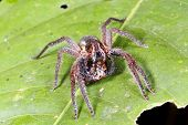 picture of wander  - Wandering spider (family Ctenidae) eating an insect in the rainforest understory at night Ecuador ** Note: Slight blurriness, best at smaller sizes - JPG