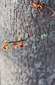 stock photo of bittersweet  - Bittersweet vine often used in fall displays shown here on a tree trunk.