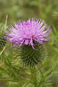 stock photo of scottish thistle  - A scotch thistle flower growing in the wild - JPG