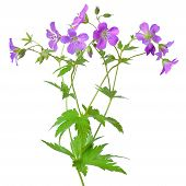 stock photo of geranium  - Meadow geranium  - JPG