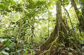 stock photo of rainforest  - Large tree in primary tropical rainforest with buttress roots Ecuador - JPG