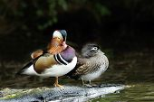 A Pair of Mandarin Ducks (Aix galericulata).