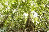 stock photo of tropical rainforest  - Low angle view of tropical rainforest with a large buttressed root tree Ecuador - JPG