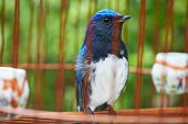 stock photo of songbird  - Songbird in cage - JPG