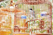 Songbird in cage. Symbol of prison