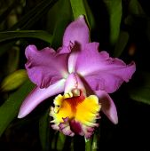 stock photo of plant species  - Colorful Orchid Species Purple Yellow Red Cattleya Brunswick Surprise Simon Picture
