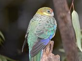 stock photo of king parrot  - parrot perched on a branch - JPG
