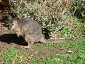 foto of tammar wallaby  - tammar wallaby - JPG