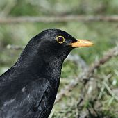A portrait of a male Blackbird (Turdus merula).