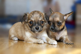 stock photo of chiwawa  - Two small Chihuahua puppies lying on floor with blurred background - JPG