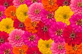 image of zinnias  - Blooming zinnias background - JPG