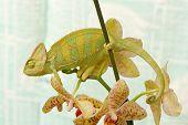 stock photo of terrarium  - chameleon in a terrarium with orchid flowers - JPG