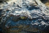 stock photo of crocodilian  - An extreme closeup on a crocodiles face - JPG