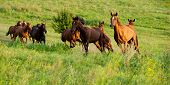 stock photo of herd horses  - herd of horses running in the hilly area the summer season - JPG