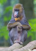 image of belly-band  - Portrait of the adult mandrill in it - JPG