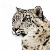 picture of snow-leopard  - 3/4 Profile Portrait of a Snow Leopard ** Note: Shallow depth of field - JPG