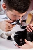 image of otoscope  - Vet examining a cat - JPG