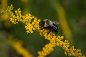 picture of goldenrod  - Bee at work collecting nectar from goldenrod flowers