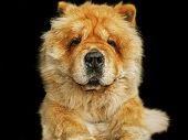 foto of chow  - Chow chow dog close up in black background - JPG