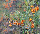 picture of sea-buckthorn  - Branch with berries of sea buckthorn and green leaves - JPG